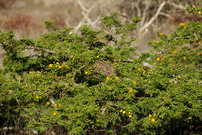Galapagos Trip - Galapagos, Puerto Egas, Santiago Island<br /> Maidenhair ferns and Soapberry trees