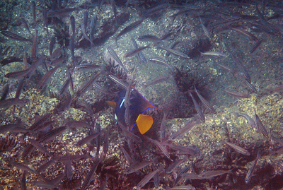 Galapagos Trip - Galapagos, Puerto Egas, Santiago Island<br /> King Angelfish in the midst of Black Striped Salema