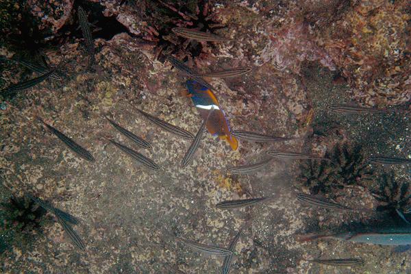 Galapagos Trip - Galapagos, Puerto Egas, Santiago Island<br /> King Angelfish in the midst of Black Striped Salemas