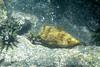 Galapagos Trip - Galapagos, Puerto Egas, Santiago Island<br /> Balloon Fish