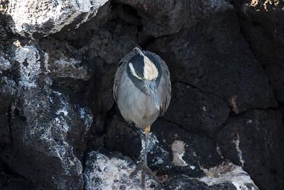 Galapagos Trip - Galapagos, Puerto Egas, Santiago Island<br /> Night Heron