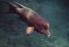 Galapagos Trip - Galapagos, Puerto Egas, Santiago Island<br /> Mexican Hogfish