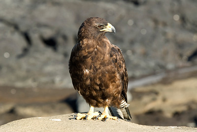Galapagos Trip - Galapagos, Puerto Egas, Santiago Island<br /> Galapagos Hawk