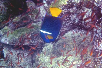 Galapagos Trip - Galapagos, Puerto Egas, Santiago Island<br /> King Angelfish