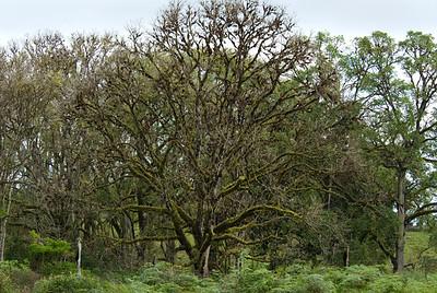 Galapagos Trip - Galapagos, Santa Cruz Island - The Twins & Darwin Station<br /> Silk Cotton Tree
