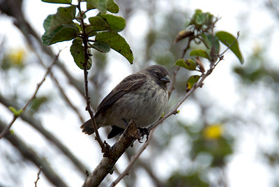 Galapagos Trip - Galapagos, Santa Cruz Island - The Twins & Darwin Station<br /> Cactus Finch