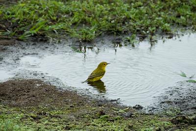 Galapagos Trip - Galapagos, Santa Cruz Island - The Twins & Darwin Station<br /> Yellow Warbler