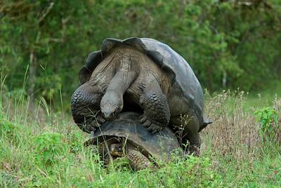 Galapagos Trip - Galapagos, Santa Cruz Island - The Twins & Darwin Station<br /> Giant Galapagos Tortoises Mating