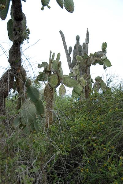 Galapagos Trip - Galapagos, Santa Cruz Island - The Twins & Darwin Station<br /> Prickly Pear Cactus