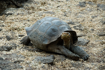 Galapagos Trip - Galapagos, Santa Cruz Island - The Twins & Darwin Station<br /> Darwin Station Galapagos Giant Tortoise - George