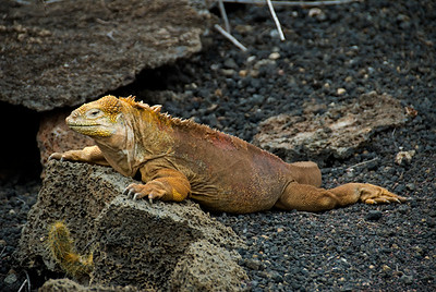 Galapagos Trip - Galapagos, Santa Cruz Island - The Twins & Darwin Station<br /> Land Iguana