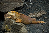 Galapagos Trip - Galapagos, Santa Cruz Island - The Twins & Darwin Station<br /> Land Iguana