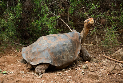 Galapagos Trip - Galapagos, Santa Cruz Island - The Twins & Darwin Station<br /> Giant Galapagos Tortoise - Darwin Station