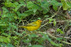 Galapagos Trip - Galapagos, Santa Cruz Island - The Twins & Darwin Station<br /> Yellow Warbler
