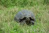 Galapagos Trip - Galapagos, Santa Cruz Island - The Twins & Darwin Station<br /> Giant Galapagos Tortoise