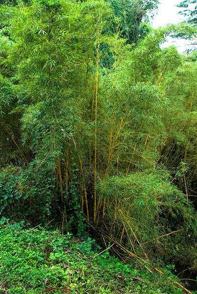 Akaka Falls State Park: Bamboo