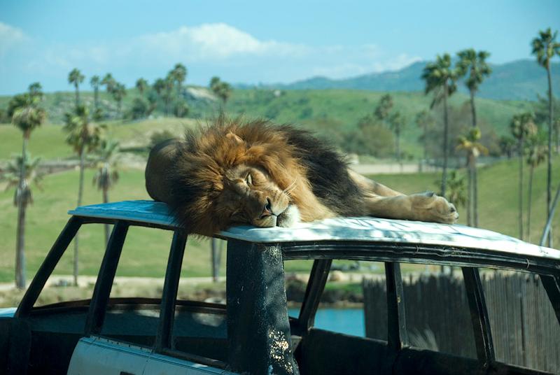 San Diego Wild Animal Park - Lion on top of old Range Rover