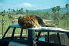 San Diego Wild Animal Park - Lion on top of old Range Rover