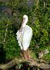 San Diego Wild Animal Park - African Spoonbill