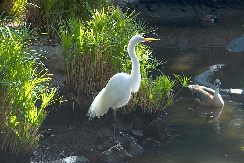 San Diego Wild Animal Park - Intermediate Egret