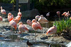 San Diego Wild Animal Park - American Flamingos