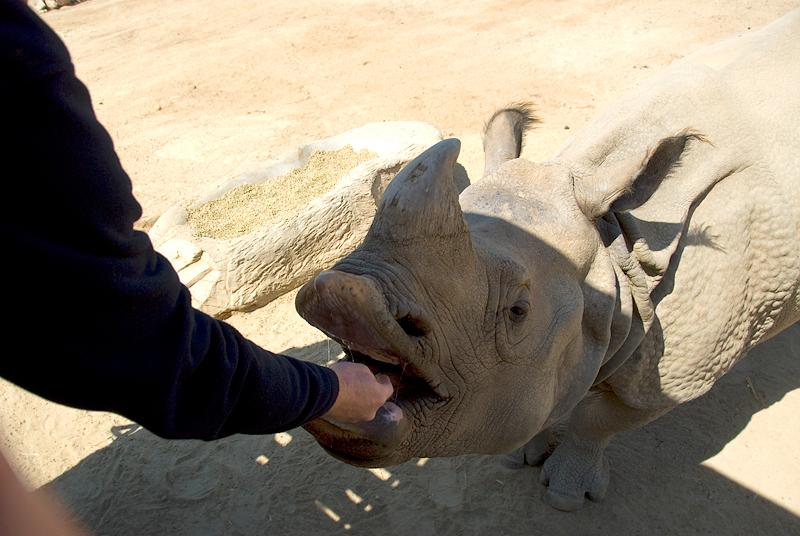 CA-March 2009 San Diego, San Diego Wild Animal Park, greater one-horned rhinoceros