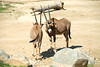 San Diego Wild Animal Park, Photo Caravan Safari - Fringe-Eared or Kilimanjaro Oryx