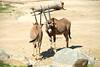 San Diego Wild Animal Park, Photo Caravan Safari - Fringe-Eared or Kilimanjaro Oryx