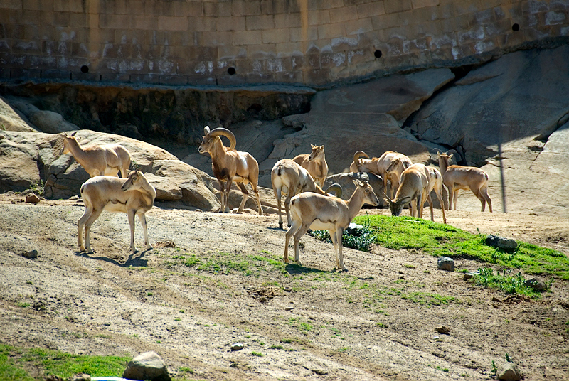 San Diego Wild Animal Park, Photo Caravan Safari - Transcaspian Urial