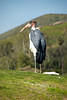 San Diego Wild Animal Park, Photo Caravan Safari - Asian Openbill Stork