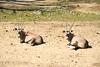 San Diego Wild Animal Park, Photo Caravan Safari - Gemsbok or South African Oryx