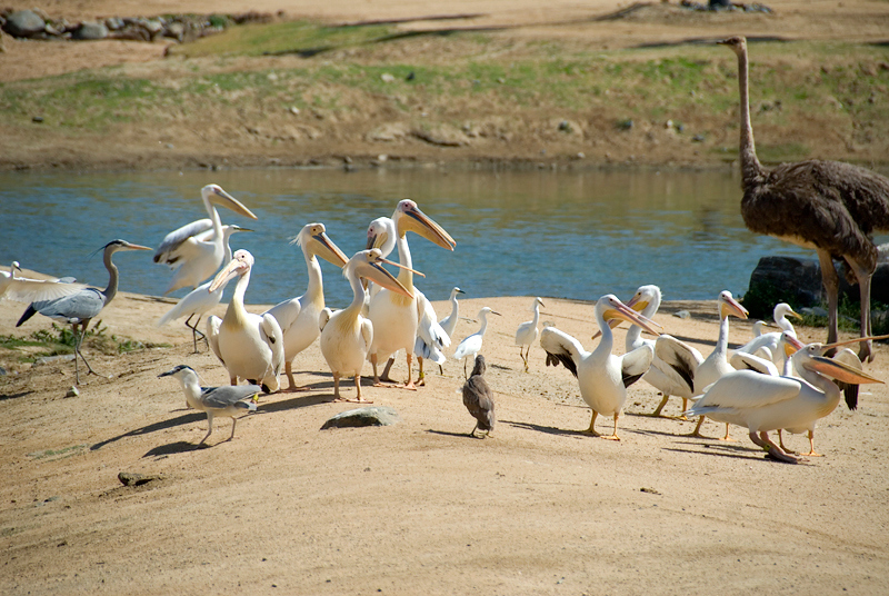 San Diego Wild Animal Park, Photo Caravan Safari - (from left to right) Great Blue Heron, Eastern White Pelicans, Small Night Heron, Ostrich