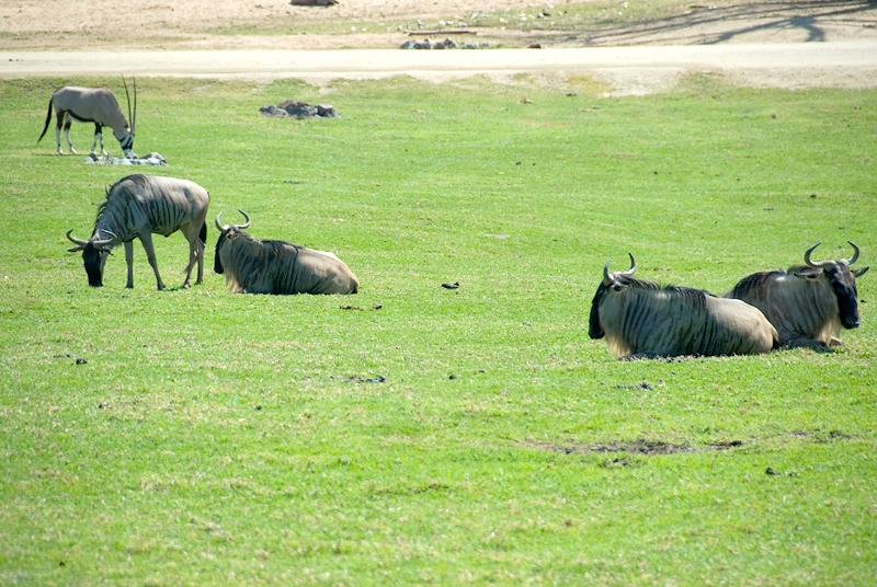 San Diego Wild Animal Park, Photo Caravan Safari - Eastern White-Bearded Gnu or Wildebeest, with a Fringe-Eared or Kilimanjaro Oryx in the background