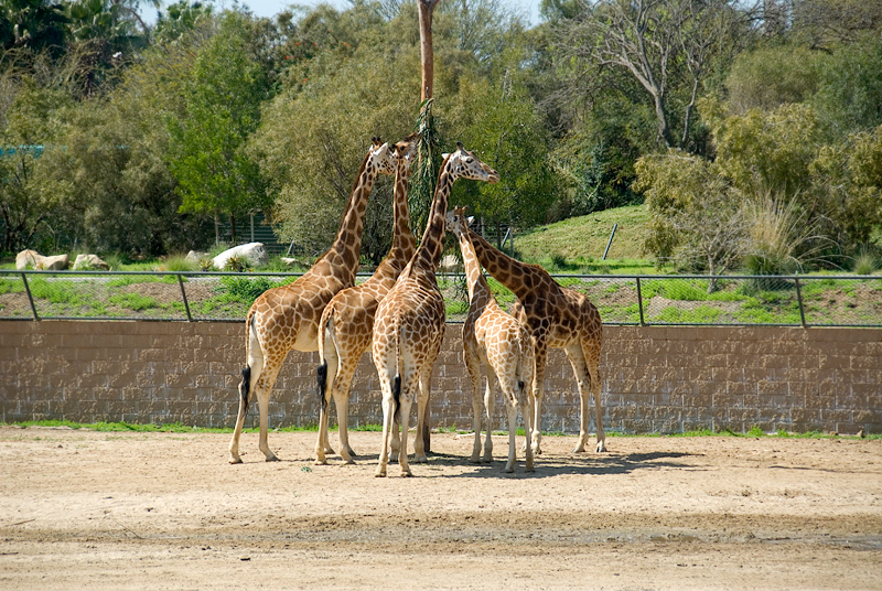 San Diego Wild Animal Park, Photo Caravan Safari - Giraffes
