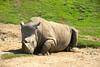 San Diego Wild Animal Park, Photo Caravan Safari - Southern White or Square-Lipped Rhinoceros