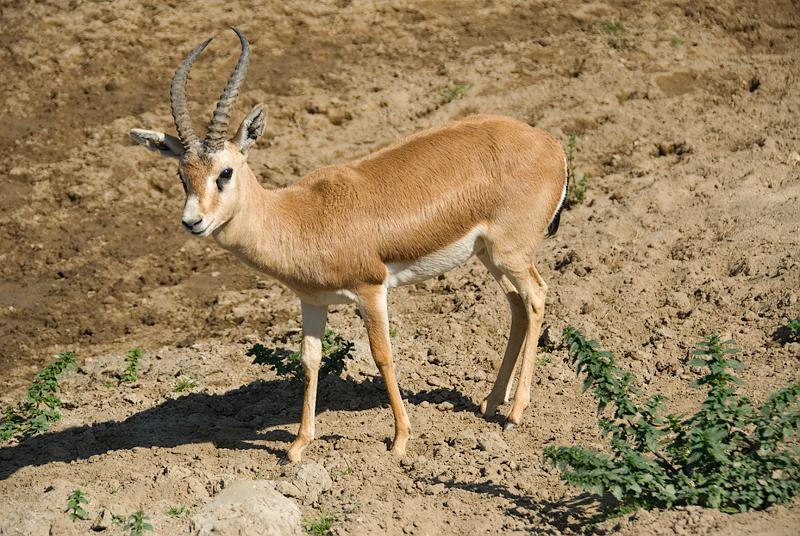 San Diego Wild Animal Park, Photo Caravan Safari - Grant's Gazelle