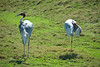San Diego Wild Animal Park, Photo Caravan Safari - Indian Sarus Crane