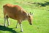 San Diego Wild Animal Park, Photo Caravan Safari - Javan Banteng