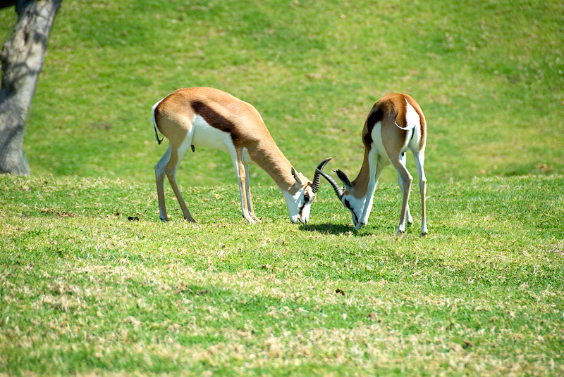 San Diego Wild Animal Park, Photo Caravan Safari - Two male Thomson's Gazelles fighting for herd leadership