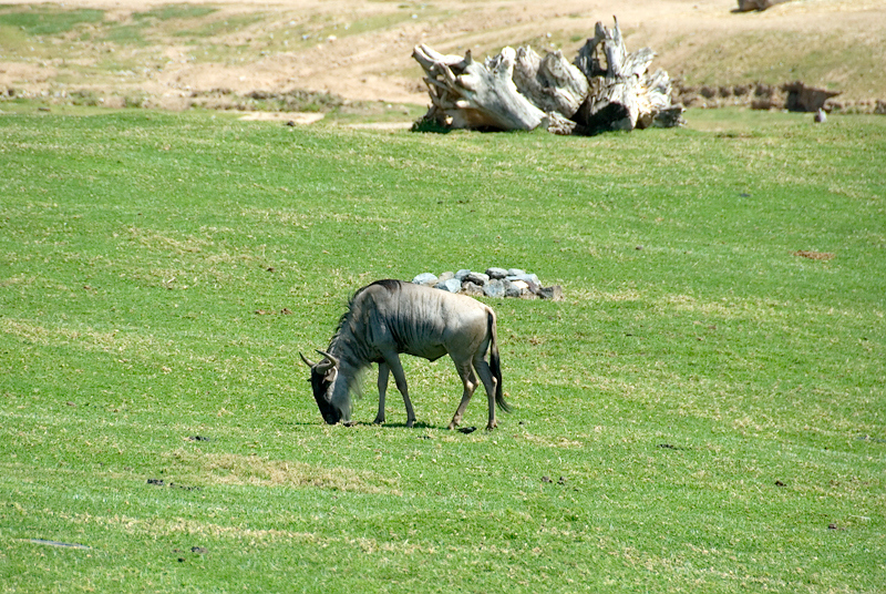 San Diego Wild Animal Park, Photo Caravan Safari - Eastern White-Bearded Gnu or Wildebeest