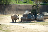 San Diego Wild Animal Park, Photo Caravan Safari - East African Black Rhinoceros