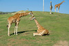 San Diego Wild Animal Park, Photo Caravan Safari - Giraffe