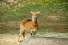 San Diego Wild Animal Park, Photo Caravan Safari - Kenya Impala