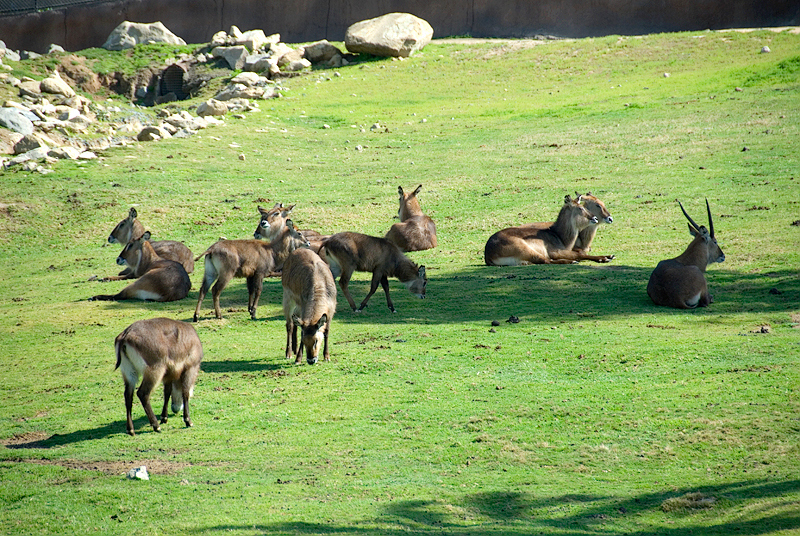 San Diego Wild Animal Park, Photo Caravan Safari - Defassa Waterbuck