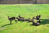 San Diego Wild Animal Park, Photo Caravan Safari - Ellipsen or Southern Waterbuck