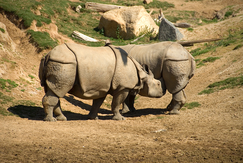 CA-March 2009 San Diego, San Diego Wild Animal Park, greater one-horned rhinoceroses
