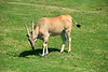 San Diego Wild Animal Park, Photo Caravan Safari - Patterson's Eland