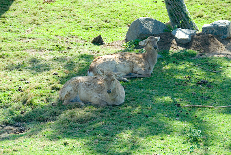 San Diego Wild Animal Park, Photo Caravan Safari - Chital