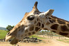 San Diego Wild Animal Park, Photo Caravan Safari - Giraffe