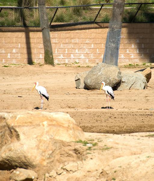 San Diego Wild Animal Park, Photo Caravan Safari - Yellow-Billed Stork